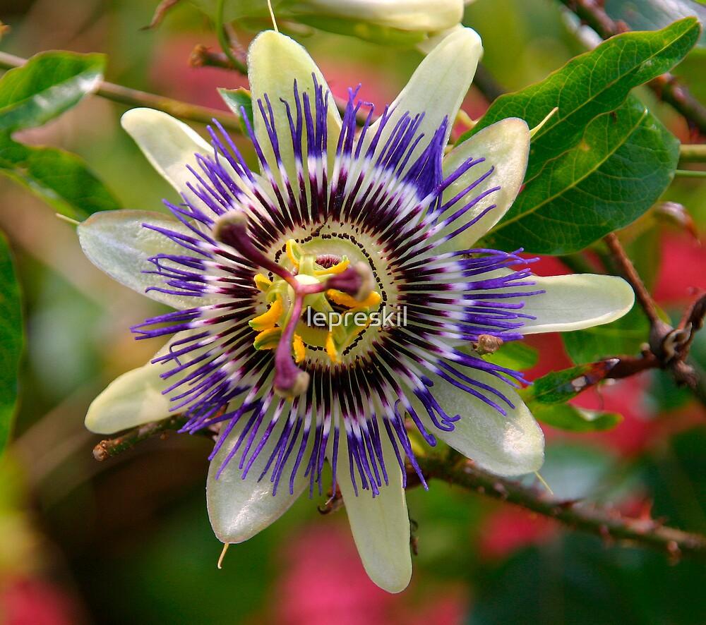 Passion Flower by lepreskil