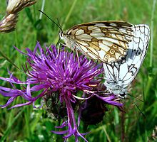 Marbled white butterflies by Sharon Perrett