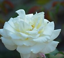White Rose by thePhotoMaster