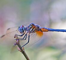 Blue Dasher Dragonfly by Bonnie T.  Barry