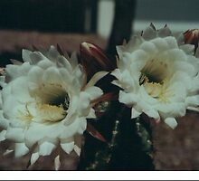 cactus flowers  by Mark Dougherty