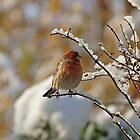House Finch in Snow by Sandy Keeton