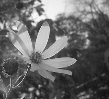 A Daisy in Black and White by FaithAnn