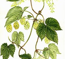 Common Hop - Humulus lupulus by Sue Abonyi