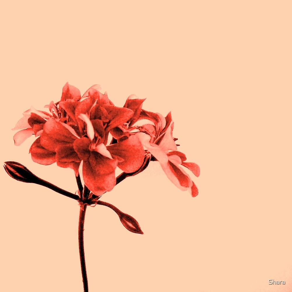 Geranium Peach by Shara