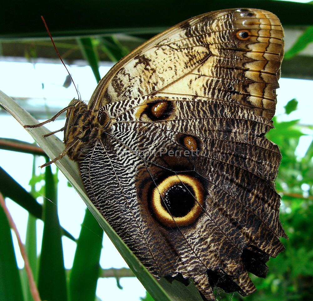 Owl butterfly - Closed Wings by Sharon Perrett