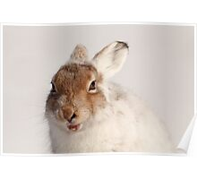 Yawning mountain hare Poster
