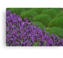 Lavendar Field Canvas Print