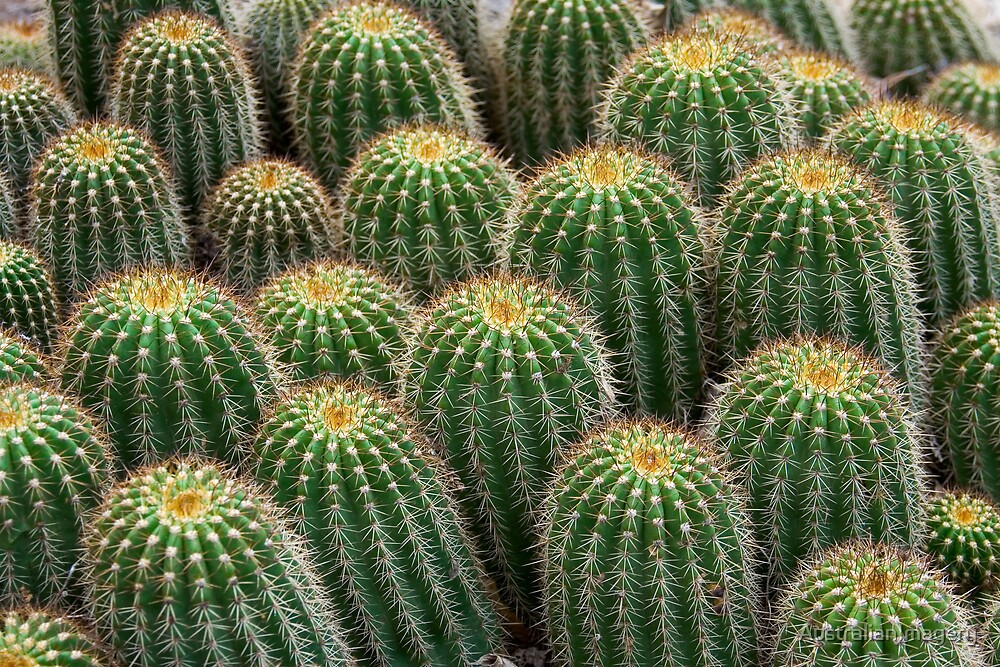 Cactus Crowd by AustralianImagery
