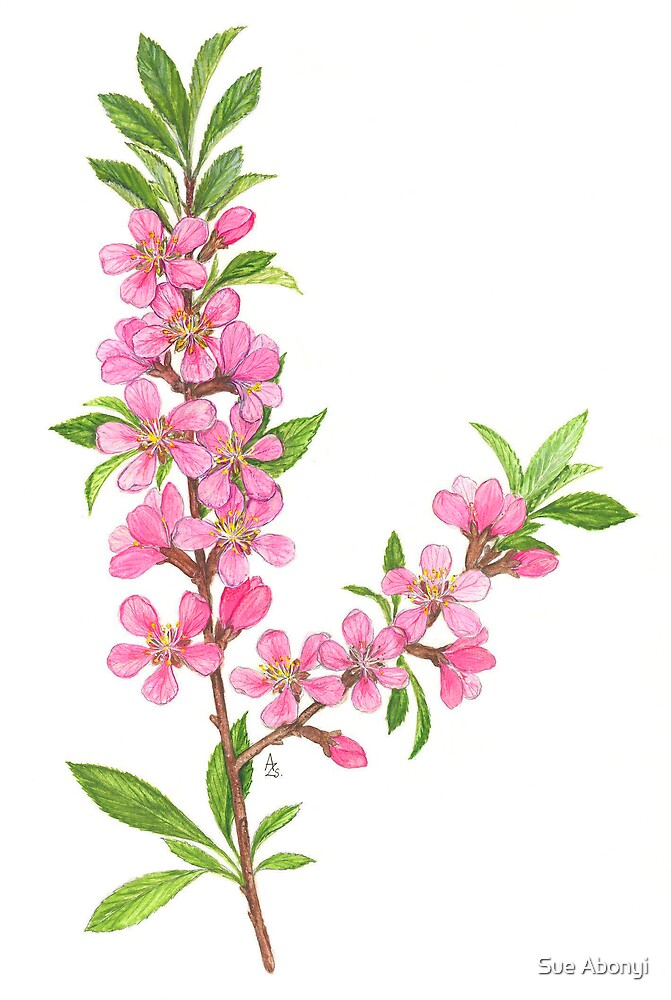 Dwarf Almond - Amygdalus nana by Sue Abonyi