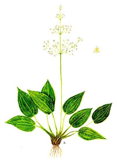 Mad-dog Weed - Alisma plantago-aquatica by Sue Abonyi
