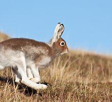 Running Mountain Hare by cjdolfin