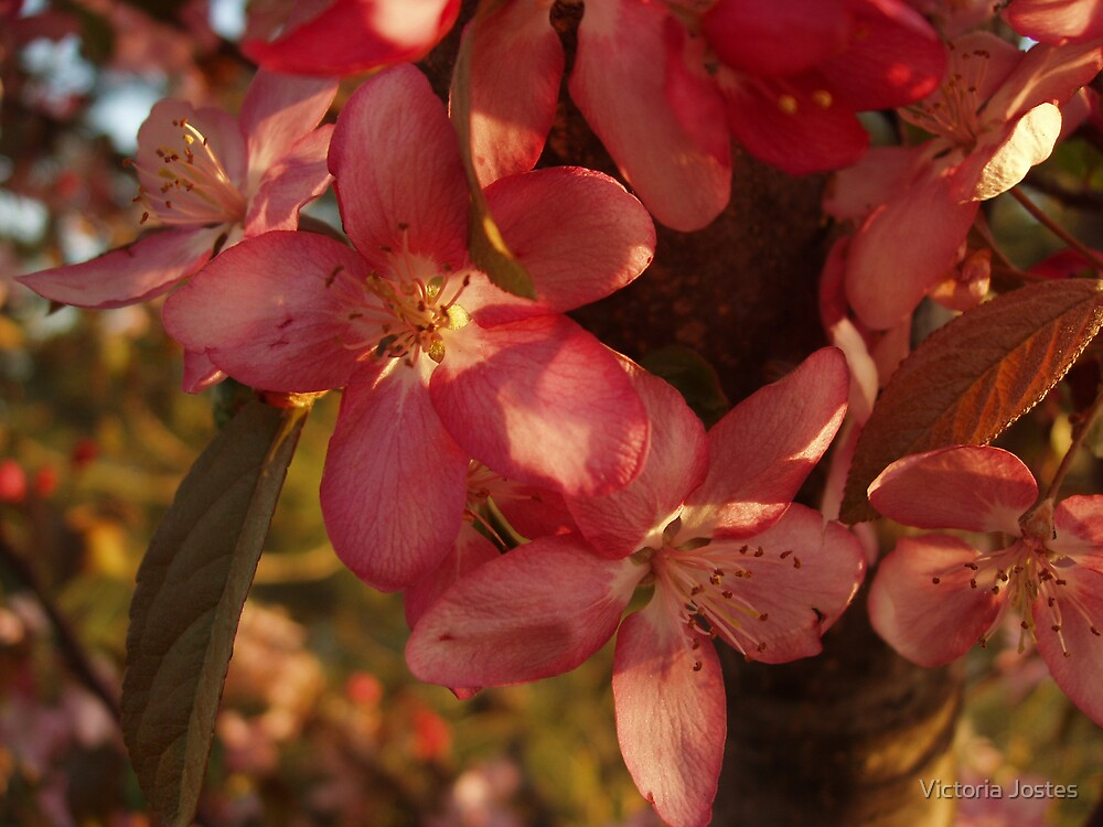 Crabapple blossoms by Victoria Jostes