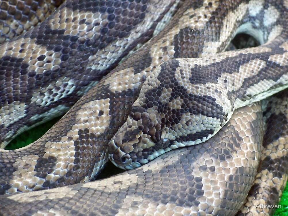 Coastal Carpet Python by Athravan