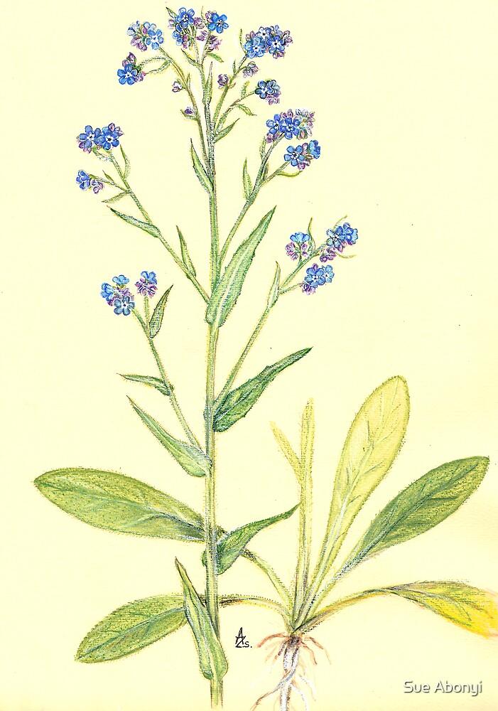 Anchusa barrelieri by Sue Abonyi