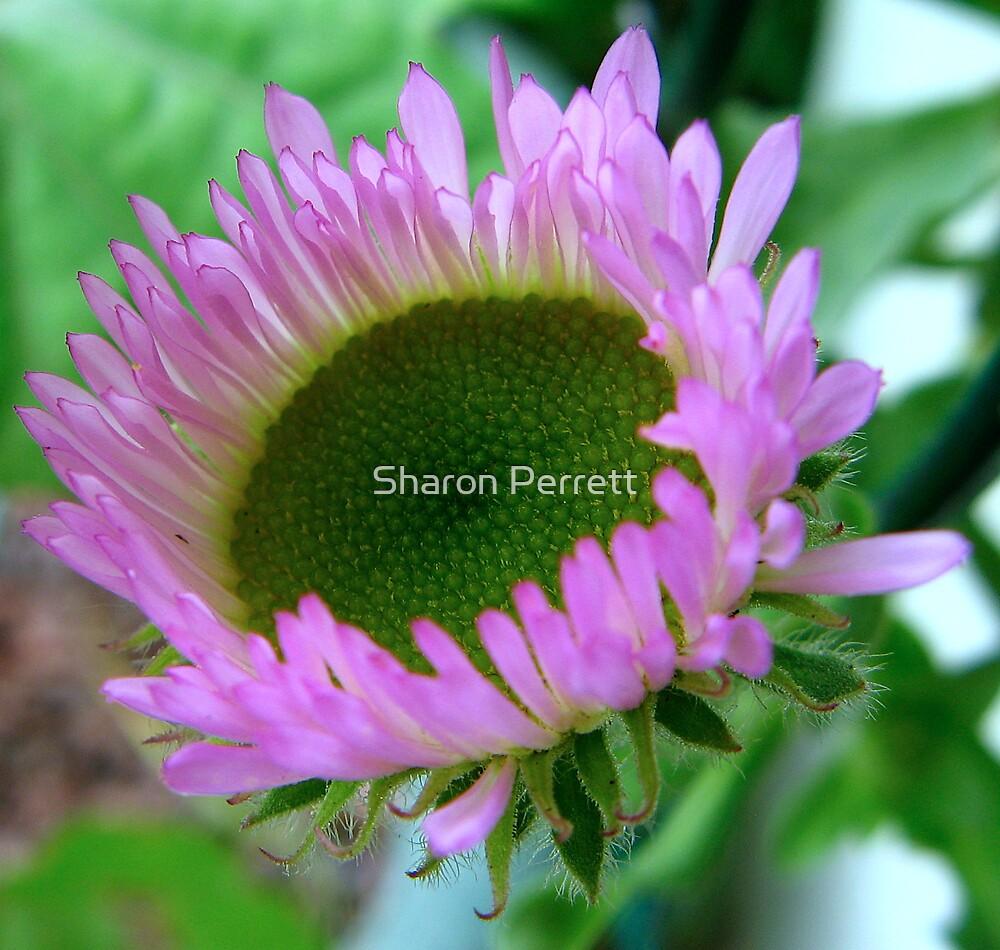 Erigeron Dignity - Flea Bane by Sharon Perrett