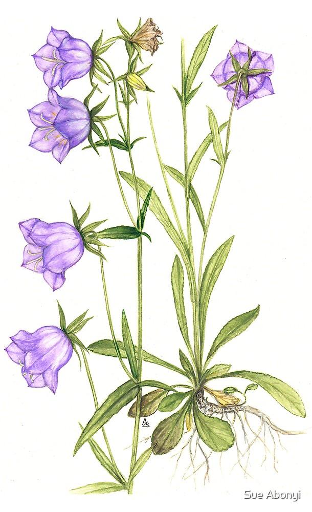 Bell Blue - Campanula persica by Sue Abonyi