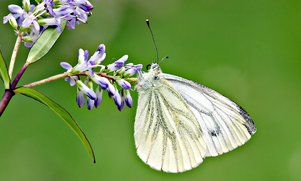 Green Veined White by kitlew