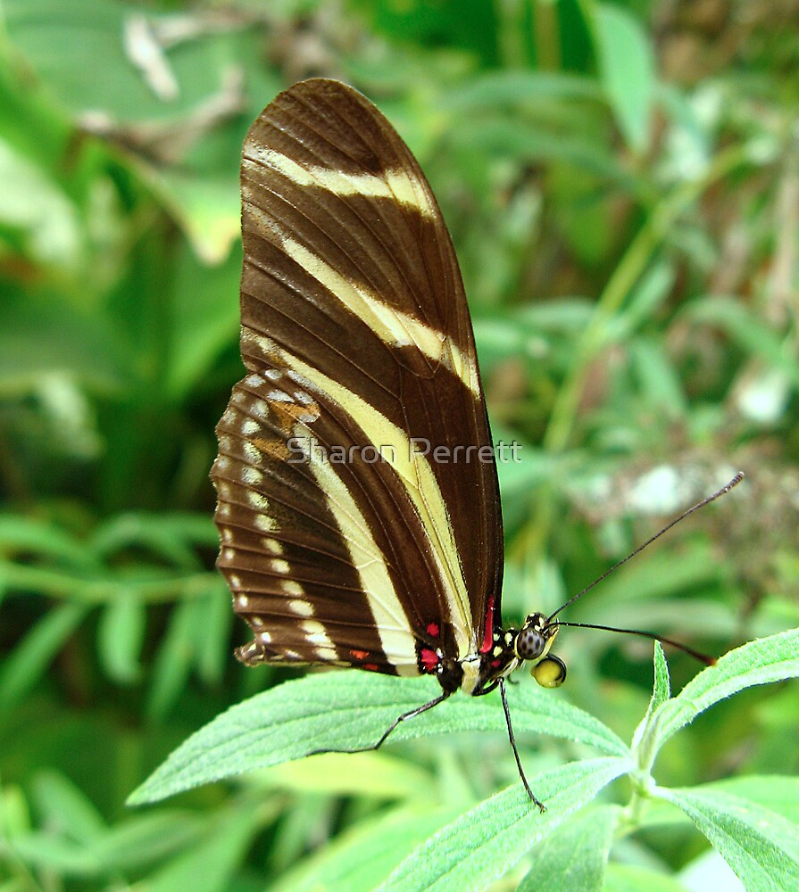 Zebra Longwing Butterfly - Closed Wings by Sharon Perrett