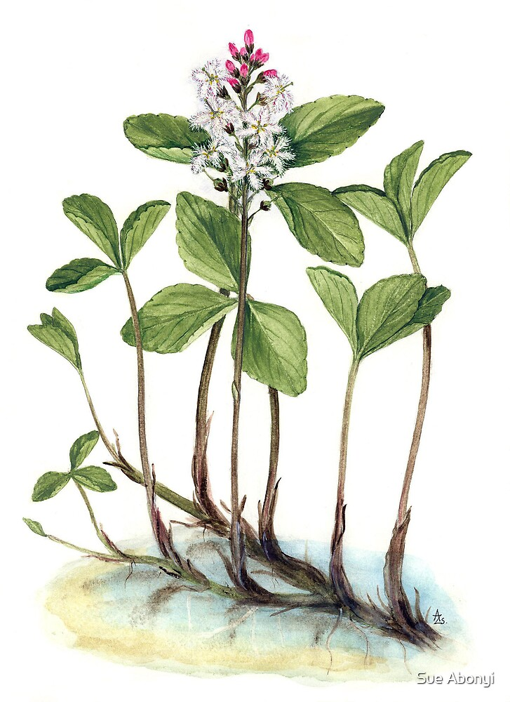 Menyanthes trifoliata by Sue Abonyi