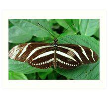 Zebra Longwing Butterfly - Open Wings Art Print