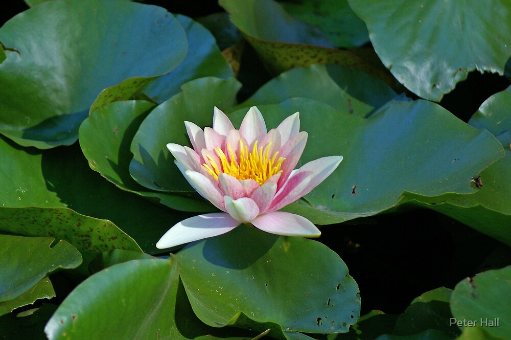 Lotus Flower by Peter Hall
