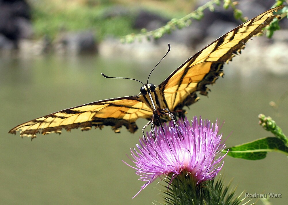 Rio Grande Butterfly by Rodney Wait