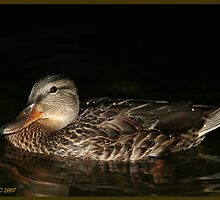 sleeping mallard by panthrcat