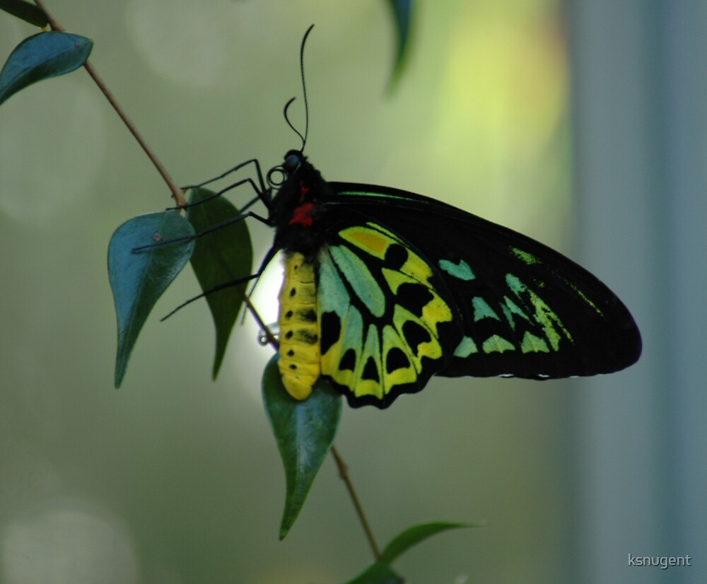 Green & Yellow Butterfly by ksnugent