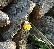 Daffodil by BeeGadsby