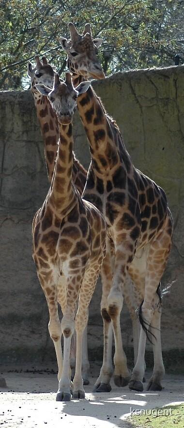 Giraffes by ksnugent