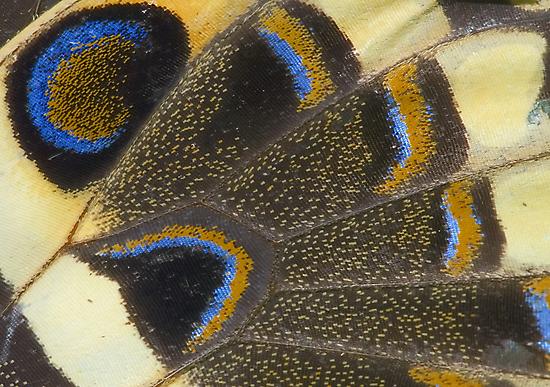 Swallowtail by Mundy Hackett