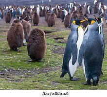 King Penguins on the Falkland Islands by Jacinthe Brault