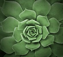 Succulent by Heather Davies