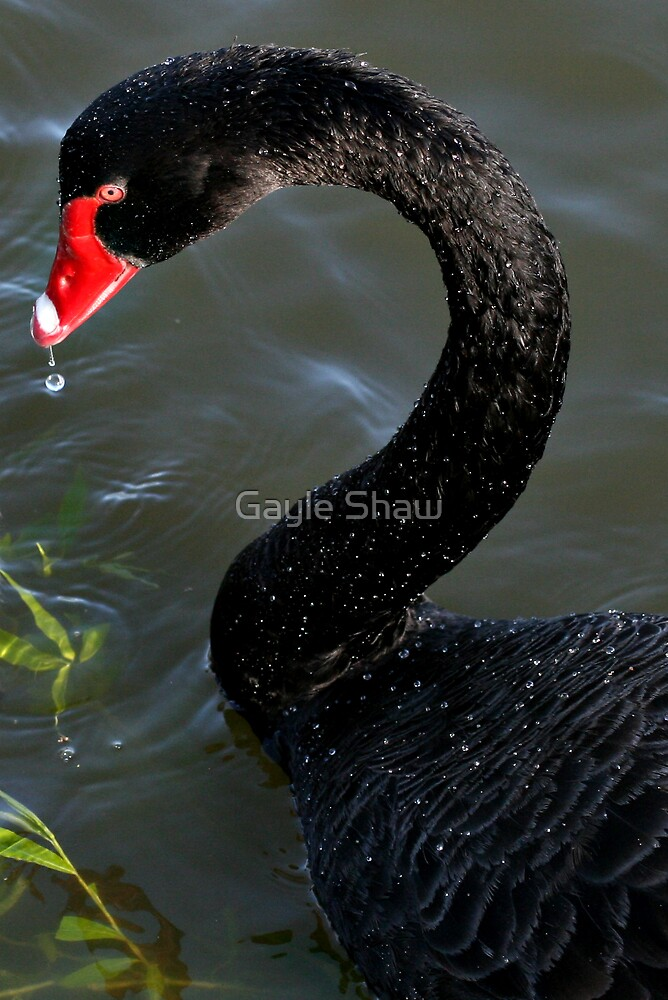 Black Swan by Gayle Shaw