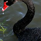Black Swan by Gayle Shaw