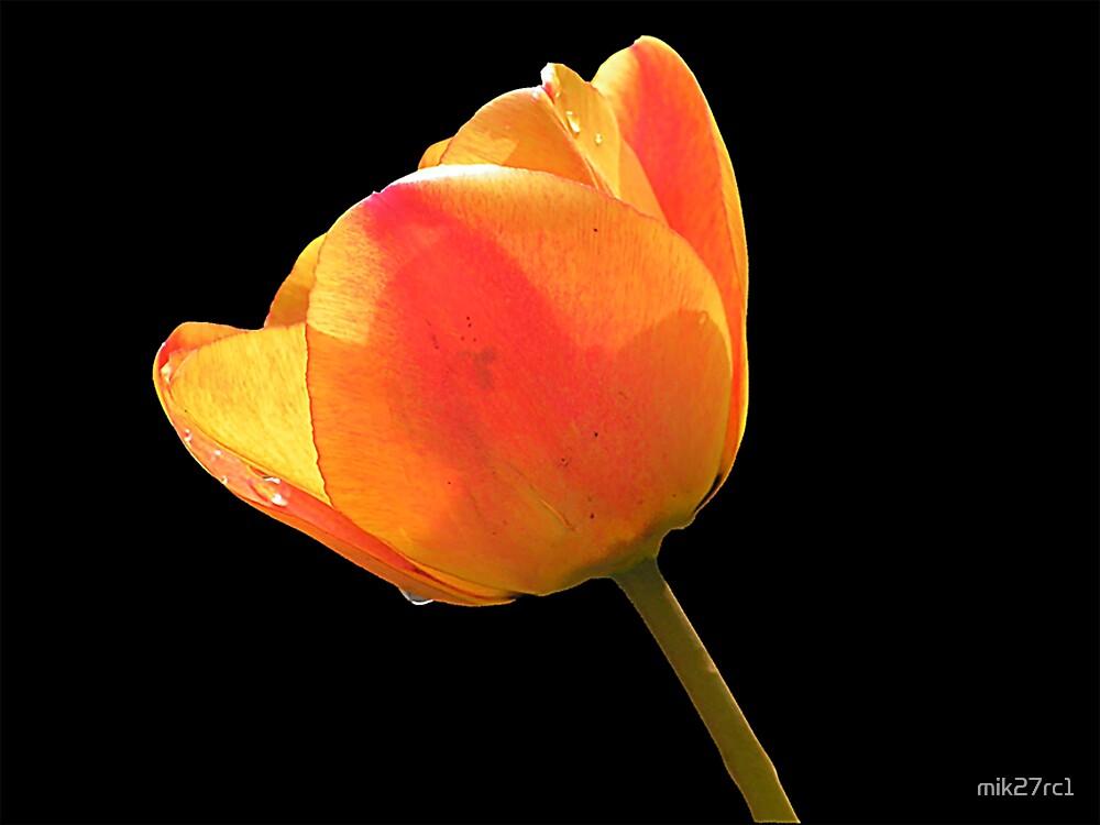 tulip by mik27rc1