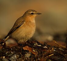 Northern Wheatear by Jon Lees