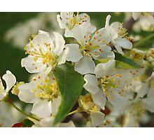 White Crabapple Blossoms Photographic Print