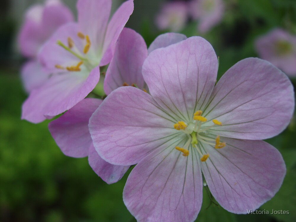 Common geranium by Victoria Jostes