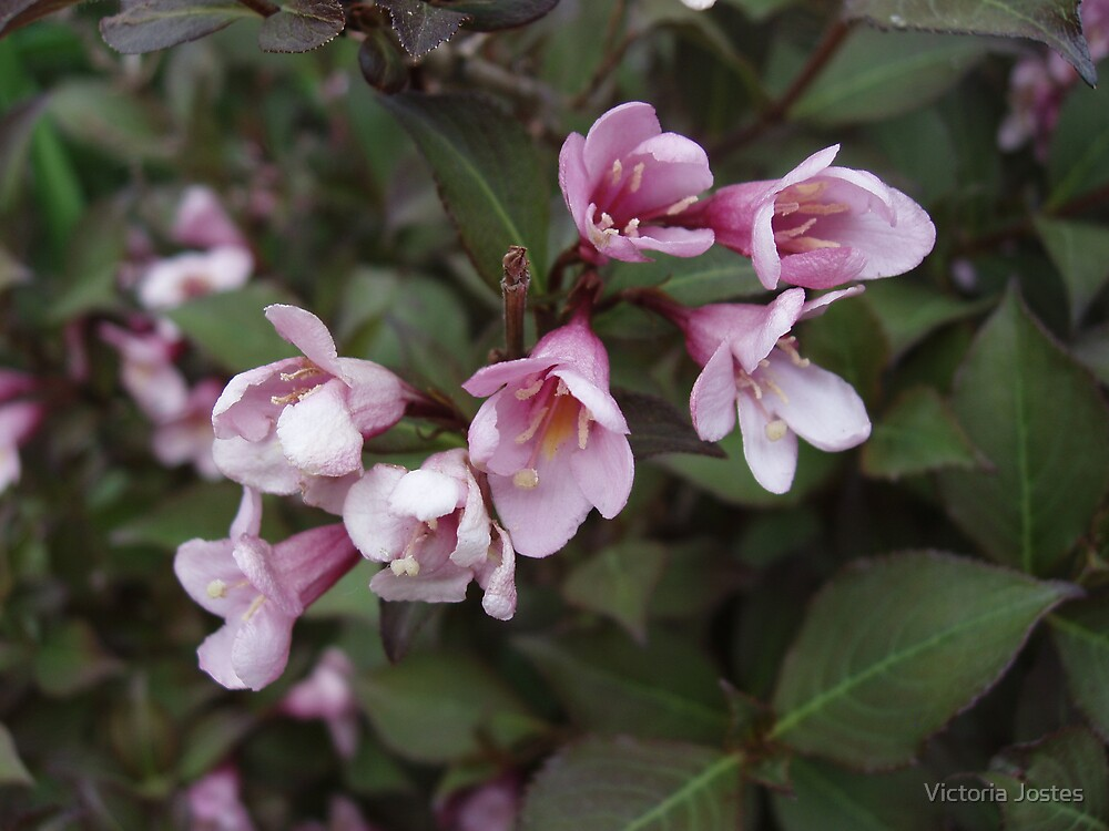 Weigela by Victoria Jostes