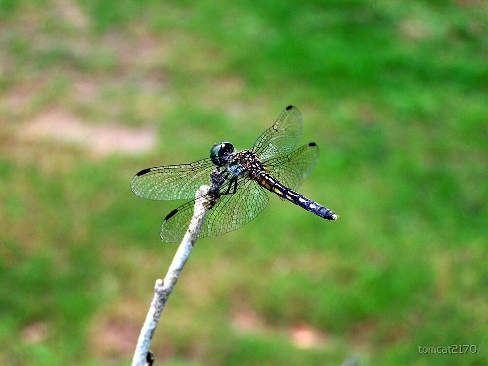 dragonfly by tomcat2170