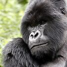 MOUNTAIN GORILLAS - WILD &amp; FREE by Steve Bulford