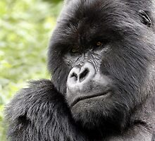 MOUNTAIN GORILLAS - WILD & FREE by Steve Bulford