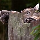 Cougar Sleeping by Jerry  Mumma