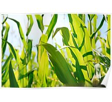 Corn leaves Poster