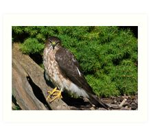 Sharp Shinned Hawk (juvenile) Art Print