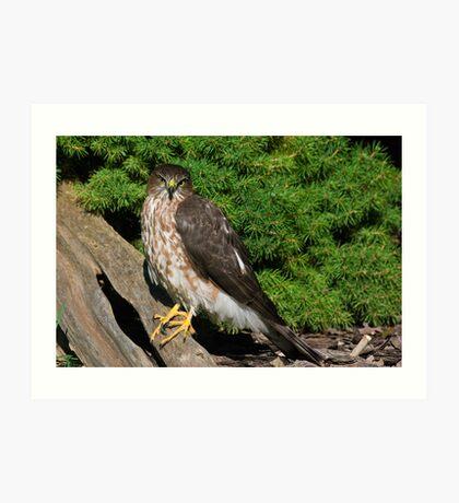 Sharp Shinned Hawk (juvenile) Art Print