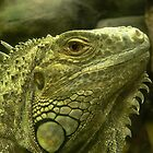 Common Iguana by margotk