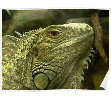 Common Iguana Poster